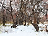 Winter Landscape With Old Trees And Snow.