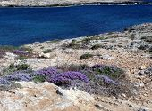 Erica Flower On The Lampedusa Island In Italy