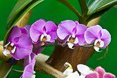 Purple Orhid