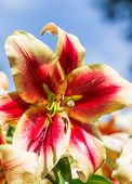 Perfect Red Lily