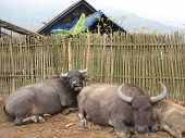 A Family of Water Buffaloes