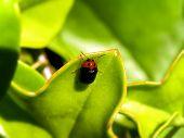 Flea Beetle 2