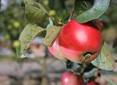 Red Apples Grows On Branch In Garden Near House
