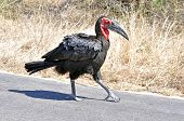 African Birds: Ground Hornbill