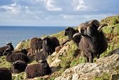 Hebridean Sheep At Baggy Point