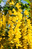 Yellow Acacia In Bloom At Spring