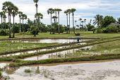 Cambodian rice paddies