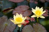 Two Yellow Water Lily Flowers In Bloom With Pads