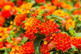 stock photo of lantana  - Beautiful Colorful Hedge Flower Weeping Lantana Lantana camara Linn in the garden  - JPG