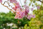 stock photo of trumpets  - Beautiful Pink Trumpet flower or Tabebuia heterophylla - JPG