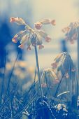 image of cowslip  - Cowslip flowers growing wild in the Cotswolds rural English countryside with Spider sewing a web on a pale yellow leaf - JPG