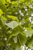 stock photo of linden-tree  - Bokeh and linden leaves branch tree twig - JPG