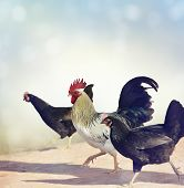 image of roosters  - Rooster and Chickens Crossing A Sidewalk - JPG