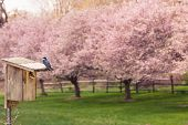 foto of swallow  - Toned image of tree swallows and nest box with cherry blossoms in the background - JPG