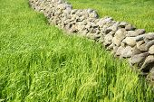 image of stonewalled  - close-up of green barley field with basaltic stonewall in Gapado island of Jeju Island in Korea. ** Note: Soft Focus at 100%, best at smaller sizes - JPG