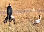 stock photo of foodchain  - multiple marabou stork walking around on the serengeti tanzania - JPG