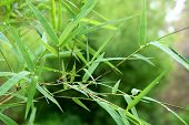 picture of bamboo leaves  - beautiful green bamboo leaves  in a jungle background close - JPG