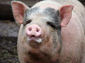 pic of pig-breeding  - pig behind the fence looking for food view from the swine farm - JPG