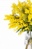 picture of mimosa  - Mimosa brunches in vase on white background - JPG