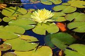 foto of koi fish  - Pond with lily pads - JPG