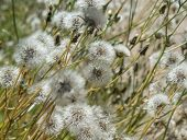 picture of hare  - Sonchus hare thistle seedheads natural floral background - JPG