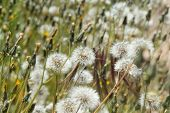 stock photo of hare  - Sonchus hare thistle seedheads natural floral background  - JPG