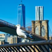 foto of brooklyn bridge  - Seagull with Manhattan skyline and Brooklyn bridge in background - JPG