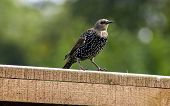 pic of bird fence  - stunning starling bird sat on a fence - JPG