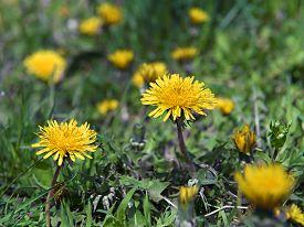 image of blown-up  - a blown yellow dandelion flower close up - JPG