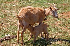 stock photo of baby goat  - mother goat feeding baby goat on pasture - JPG