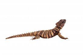 pic of girdles  - The armadillo girdled lizard, Ouroborus or Cordylus cataphractus, on white ** Note: Visible grain at 100%, best at smaller sizes - JPG