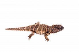 image of girdles  - The armadillo girdled lizard, Ouroborus or Cordylus cataphractus, on white ** Note: Visible grain at 100%, best at smaller sizes - JPG