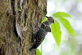 picture of woodpecker  - Buff - JPG