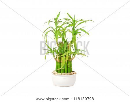 lucky bamboo dracaena sanderiana poster id 118130798. Black Bedroom Furniture Sets. Home Design Ideas