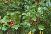 Holly Branches (ilex Aquifolium) Leaves And Berries Pattern For Christmas