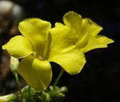 Cretan Flowers Sorrel Buttercup