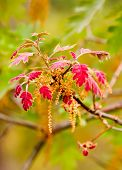 Fuzzy Red Oak Leaves -New Spring Growth