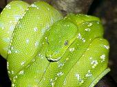 stock photo of green tree python  - green tree pyhon coiled on tree branch - JPG