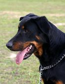 Profil Of Beauceron