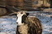 Quadricorn domestic sheep. poster