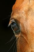 pic of horse head  - close - JPG