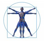 vitruvian man modern skeleton isolated x-ray medical