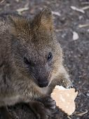 stock photo of quokka  - the quokka is a cute marsupial that is very friendly in wildlife parks but very shy in the wild - JPG
