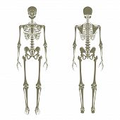 Постер, плакат: Human skeleton Didactic board of anatomy of human bony system The human skeletal system front and