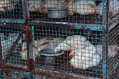 picture of chicken-wire  - Chickens for sale in Cage in India - JPG