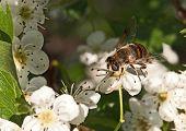 Apple tree flower and bee closeup