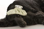 stock photo of standard poodle  - sick dog  - JPG