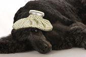 foto of standard poodle  - sick dog  - JPG