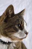 Cat In Right Profile