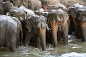 Indian elephants in a river, Pinnawela elephant orphanage, Sri Lanka